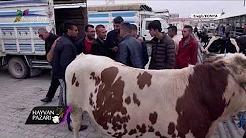 2019 Holstein Dişi Dana Fiyatı