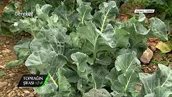Brokoli Yetiştiriciliği