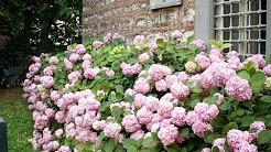 Ortanca Çiçeği Nasıl Yetiştirilir?