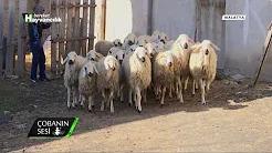 Geçmişten günümüze çobanın sorunları