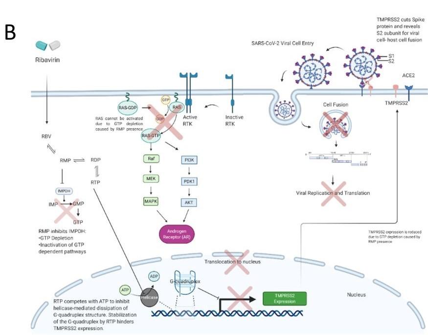 Ribavirin Etkisiyle SARS-CoV-2 Hücreye Giremiyor B
