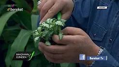 Fittonia Bitkisinin Çoğaltım İşlemleri
